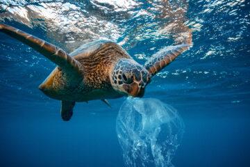 Sea turtle eating plastic bag