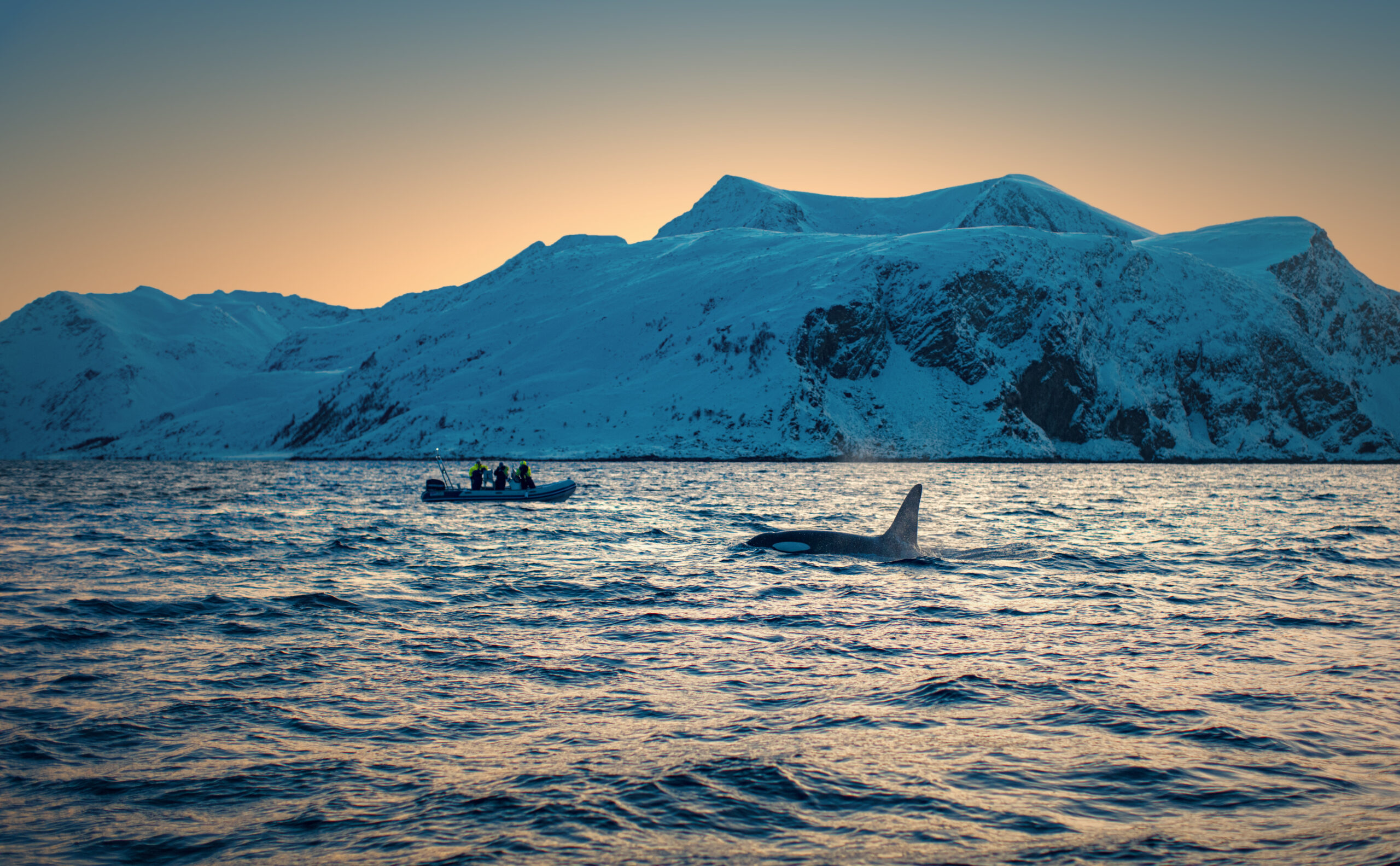 Killer whale in Norway sea