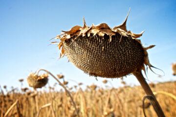 Dead sunflowers