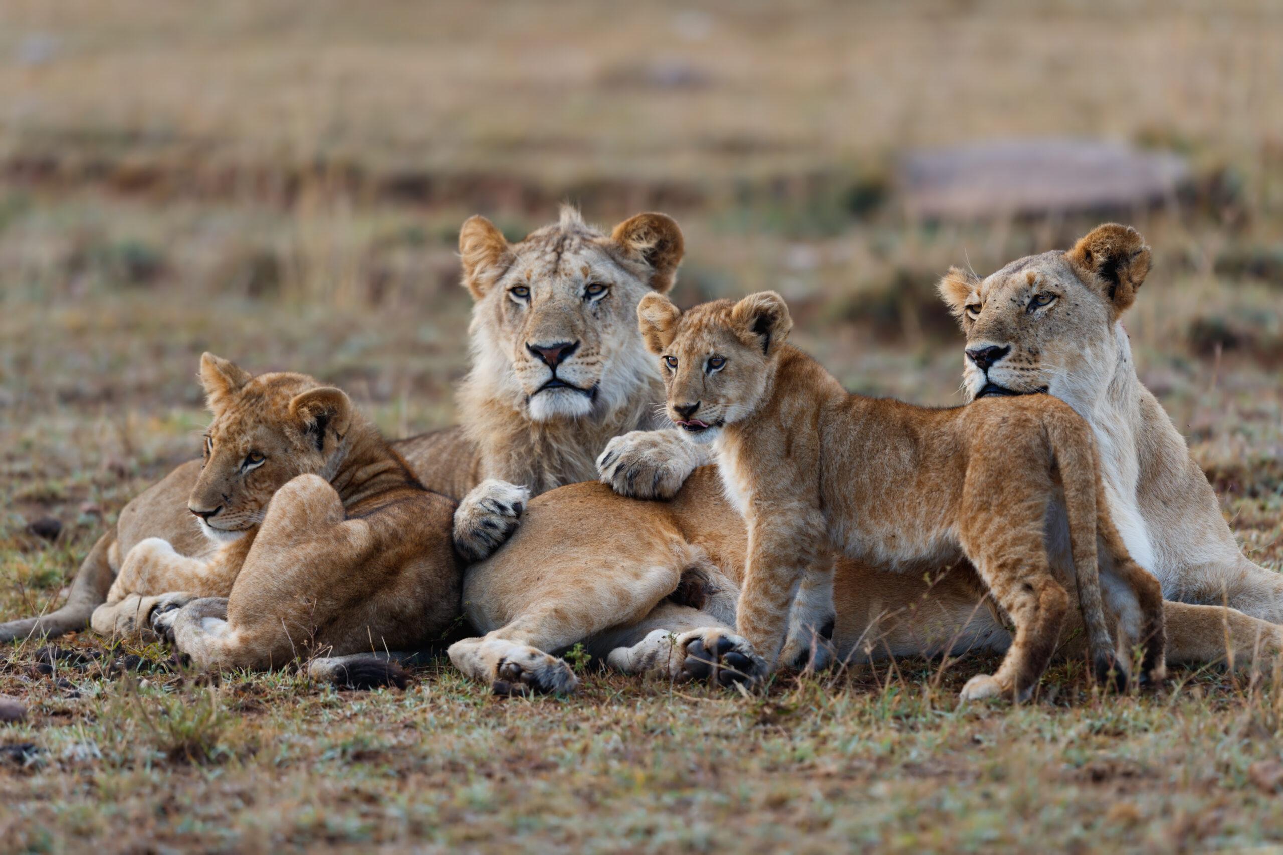 Adumu Safaris Tanzania lion