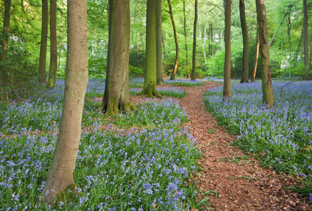 Bluebell woods in Oxfordshire